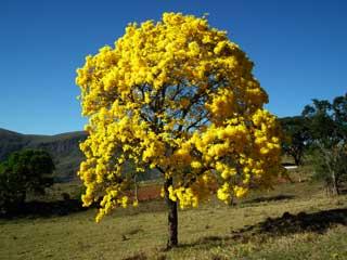 Resultado de imagem para ipê amarelo no nordeste